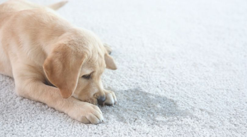 How To Remove Pet Odor From Carpet
